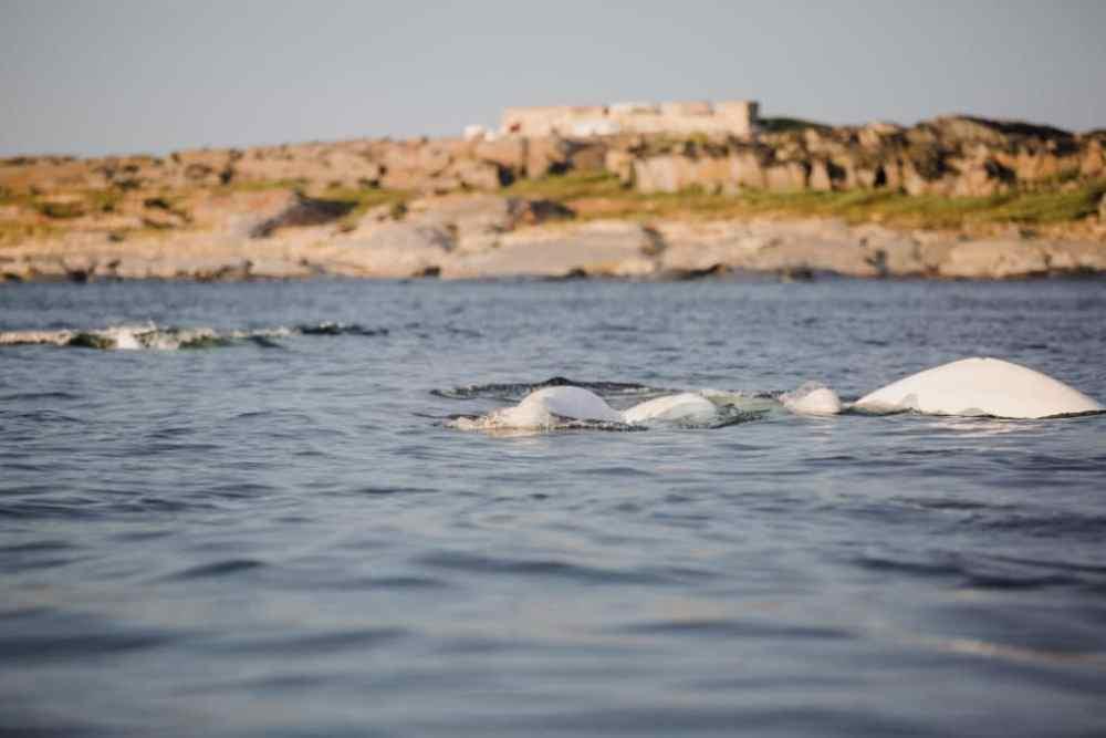 Bélugas dans la rivière Churchill