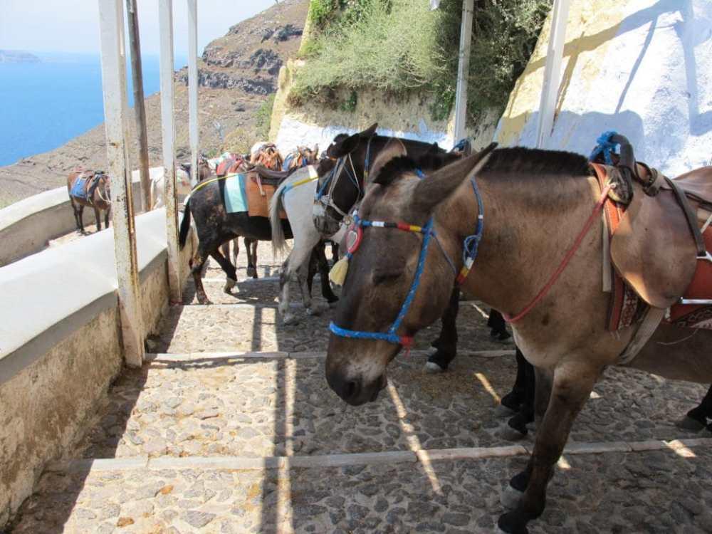 Tenter de descendre vers le port de Fira (Thira) n'est pas un mince affaire avec tous ces ânes.