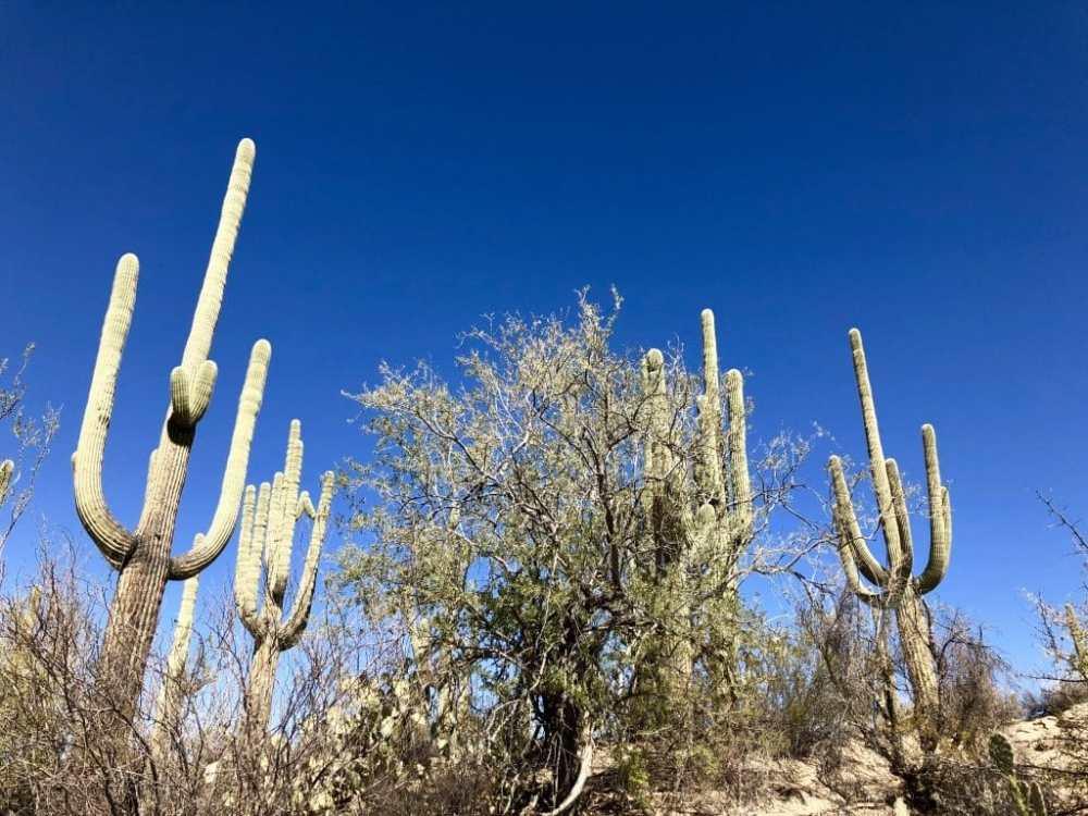 Cactus Saguaro National Park Arizona