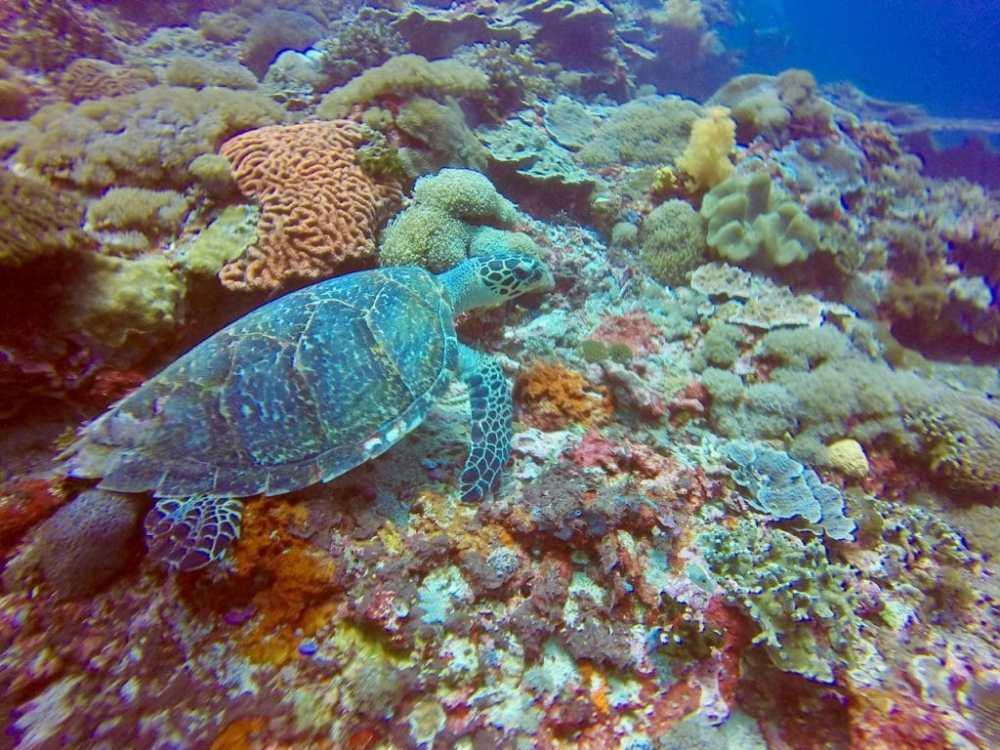 Tortue de mer en plongée à Nusa Penida, Bali, Indonésie