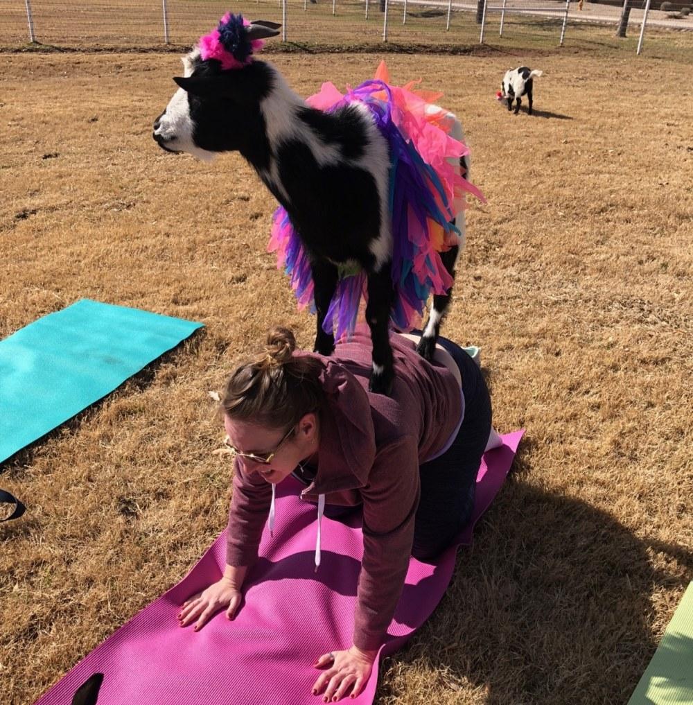 Comment ne pas rigoler quand on a un chèvre sur le dos?