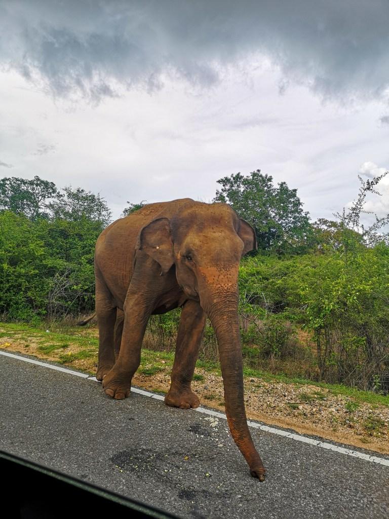 Rencontre avec un éléphant au Sri Lanka