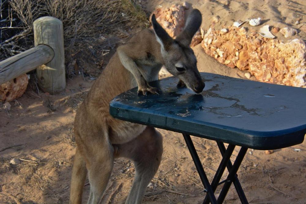 Un Kangourou lèche l'eau sur une table en camping en Australie