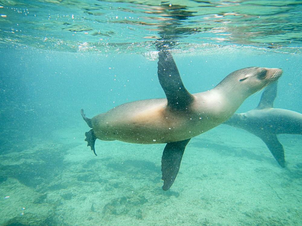 Lion de mer aux Galapagos