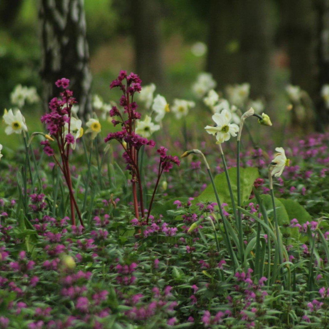 Daffodiles Aflopark