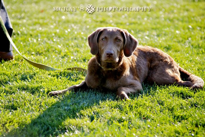 chocolate Labrador dog at wedding in the Finger Lakes