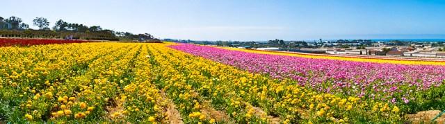 flowerfieldpano1