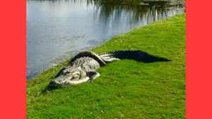 Alligator Fights Python in Front of Shocked Golfers
