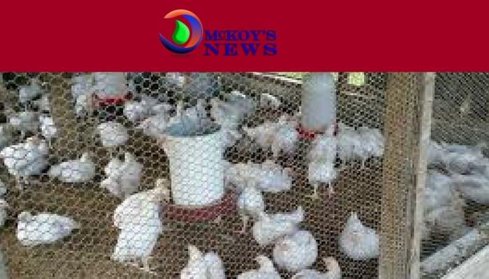 Dressmaker Found Dead in Chicken Coop