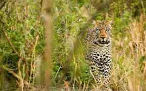 Jamaica News-Leopard snatches and eats toddler in Ugandan national park