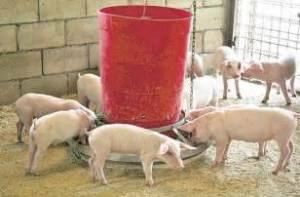 Westmoreland Pig Farmer Killed while Buying Dinner