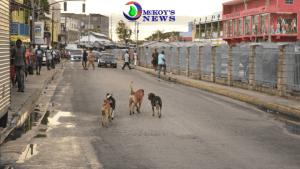 Stray Dogs Roam Montego BayStreets