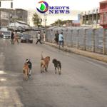 Stray Dogs Roam Montego Bay Streets