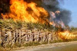 Cane burning practice to be seized, as prime minister meets with officials and stakeholders.