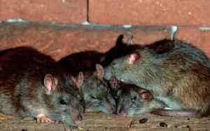 Montego Bay -Serious Rat infestation