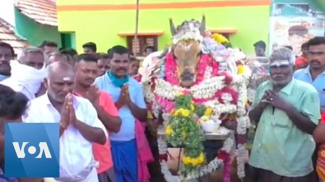 Indian Villagers Mourn Bull, Ignoring Coronavirus Fears