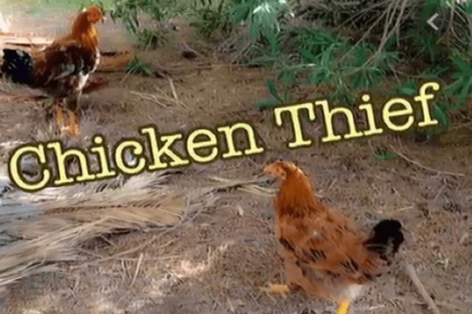 Chicken Scammer On The Loose…Plaguing Female Farmers In Clarendon