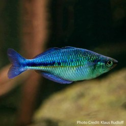 Lake Kutubu Blue Rainbowfish