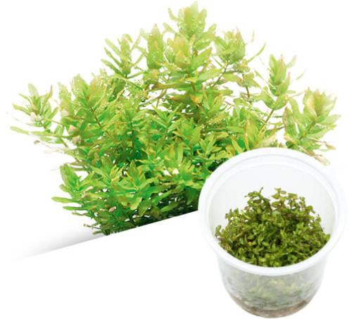 ADA - Rotala macrandra Green
