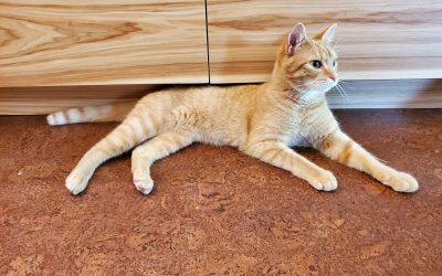 ginger tabby matches these cleat coat hickory kitchen cabinets