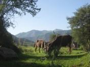 098 'Cattle' - Tajikistan