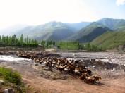 099 'Pamir Herd' - Tajikistan