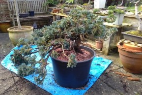 juniper-5-repotted-blog