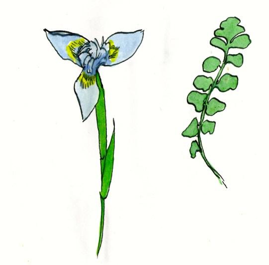 A morea and a fern leaf