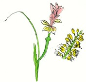 A Gladiolus and a Bulbinella: Katstert (Cat's tail)