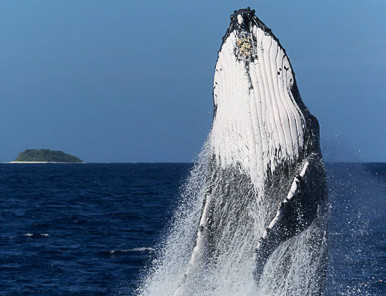 Breaching humpback whale in Tonga