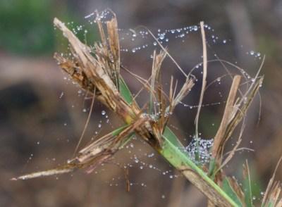Drops on a Web