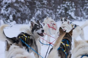 Pictures of Dog Sledding under Aurora Borealis Polar Lights Northern Lights in Churchill Manitoba Canada by mcmessner Mary Catherine Messner