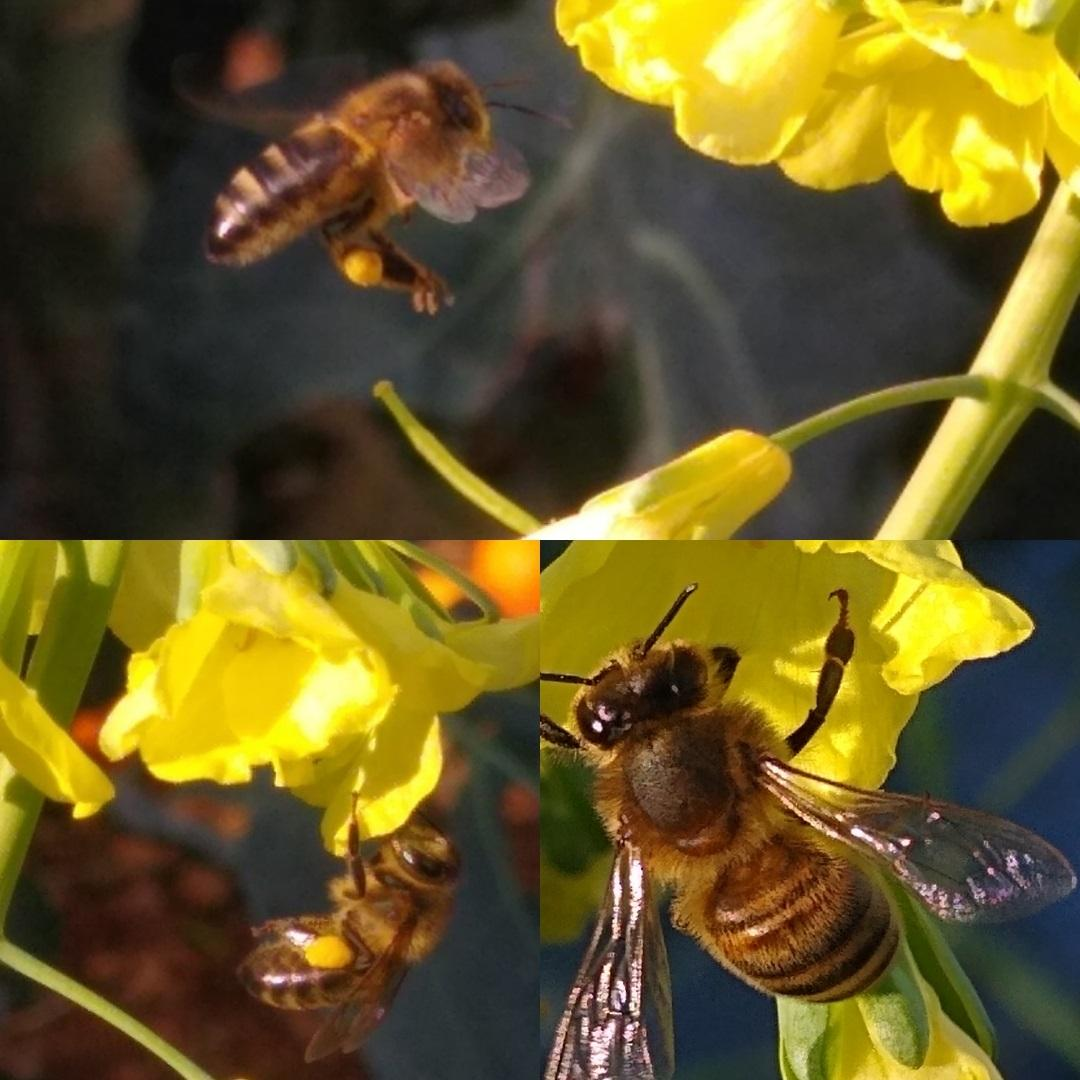A bee approaching a broccoli flower