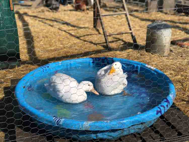 ducks in a pool