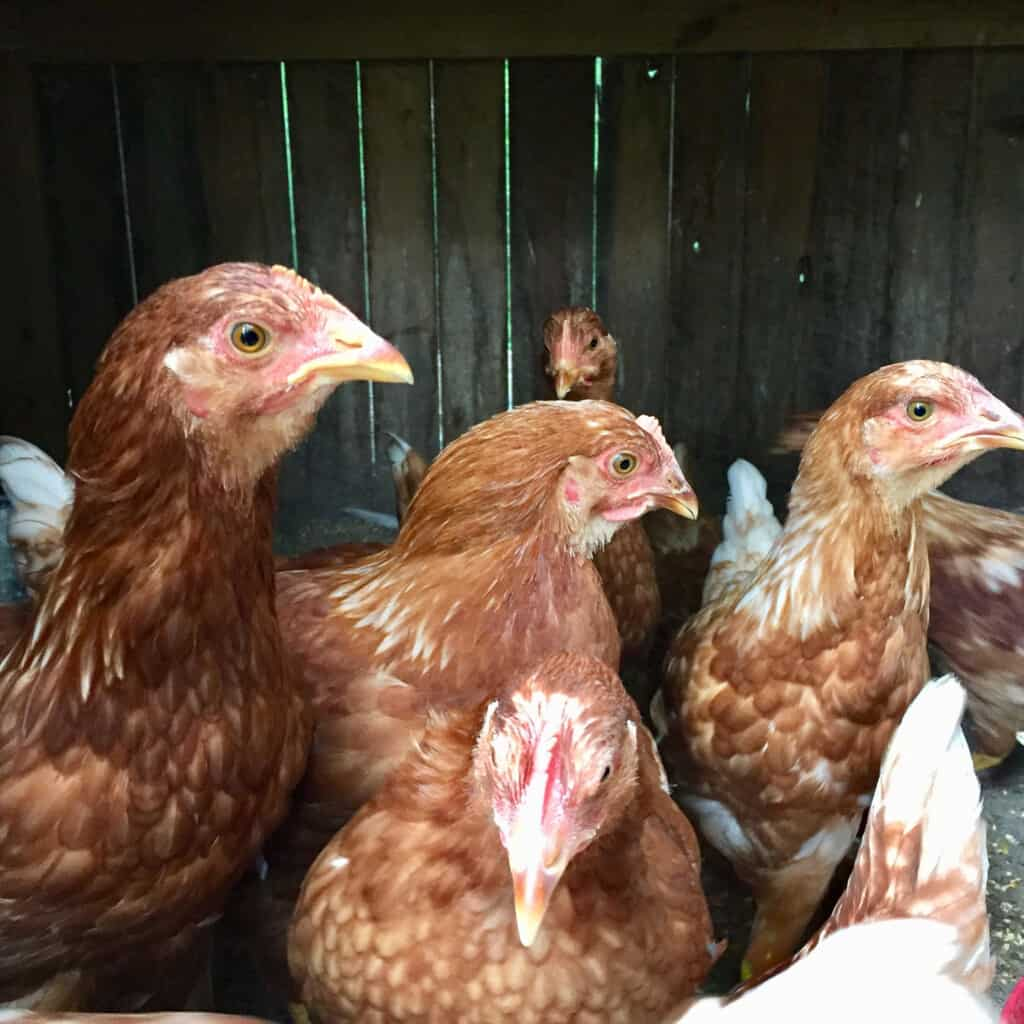 chickens for self-reliance