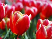 tulips Floriade Canberra australia fujifilm