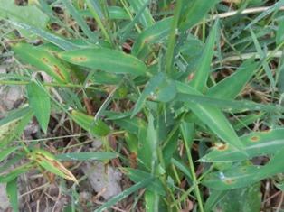 Japanese stiltgrass leaf blight