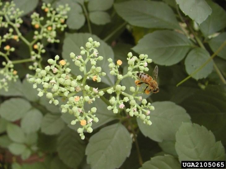 bushkiller flowers