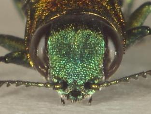 Agrilus smaragdifrons. Photo by Antonio Liberta, 2014; used with permission.