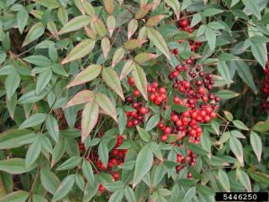 Nandina domestica foliage and fruit. Photo: Leslie J. Mehrhoff, University of Connecticut, Bugwood.org