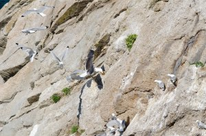 A Great Black-backed Gull predating a Kittiwake nest (Photo: Tom Dickins, 2015)