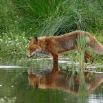 Τι σημαίνει αν ονειρευτείς αλεπού;
