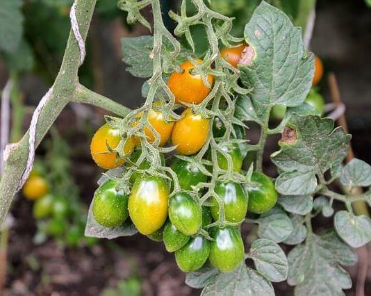 Το κόλπο, αν καλλιεργείς ντομάτες