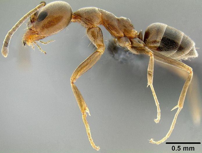 Τι γνωρίζετε για τον Μύρμηγκα της Αργεντινής;
