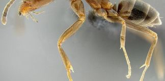 Μύρμηγκας της Αργεντινής