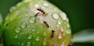 Διώχνουμε τα μυρμήγκια από τα φυτά