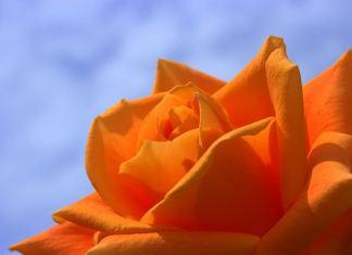 Γιατί η γιαγιά είχε τις πιο όμορφες τριανταφυλλιές