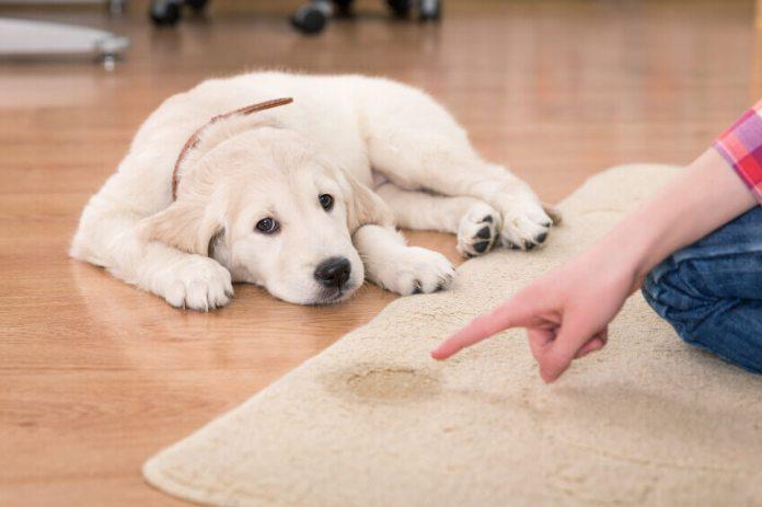 Ούρα σκύλου στη μοκέτα – πως θα φύγει η μυρωδιά