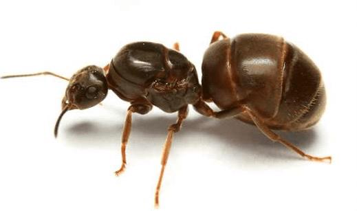 Το μαύρο μυρμήγκι, ή μυρμήγκι του κήπου