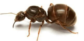 Μάθε για το μαύρο μυρμήγκι